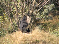 050106130406_lion_tailed_macaque