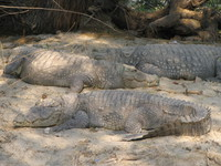 050106142722_marsh_crocodiles