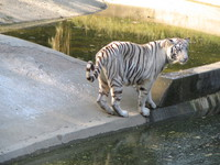 050106151644_white_tiger_looking