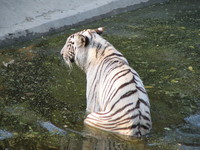 050106152050_white_tiger_sitting_in_river