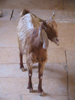041211033948_goat_in_haveli_house