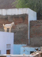 041221111744_goat_on_the_roof