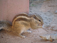 041130022010_squirrel_eating_peant