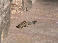 041216002258_squirrel_in_meherangarh