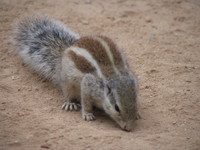 041223085050_indian_five_stripe_squirrel_at_squirrel
