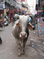 041129234412_holy_cow_and_cyber_cafe_in_main_bazar