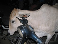 041130040610_white_cow_cleaning_ear_on_bike_handle