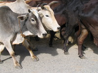 041203234052_cows_of_corbett_national_park