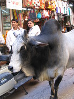 041206001808_holy_cow_in_bazzar