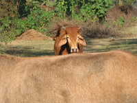 041206014202_holy_brown_cow_in_haridwar