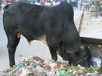 041206022220_holy_cow_eating_garbage