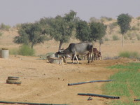 041208231330_cows_of_the_desert