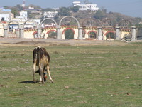 041217214934_cow_grazing_in_the_dry_lake_of_udaipur