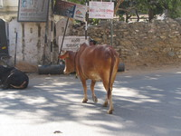 041218010118_holy_brown_cow_of_udaipur