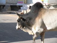 041218011722_holy_gray_cow_in_udaipur