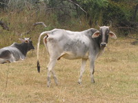 041225103828_domestic_cow_at_bharatpur