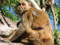 041202224818_mother_and_daughter_monkeys_at_dhikala