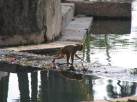 041221152140_baby_monkey_crossing_river_in_bundi