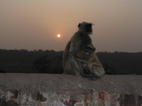 041222165902_hugging_monkeys_at_ranthambhore