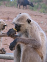 041222170222_monkeys_eating_yellow_thing_at_rathamhbore