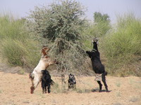 041207234028_goats_climbing_the_tree