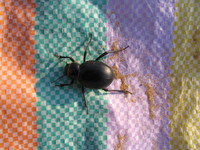 041208185006_dung_beetle_on_my_lunch_mat