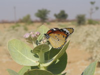 041208223302_butterfly_in_the_desert