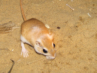 041212080458_field_mouse