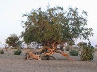 041213040838_tangled_root_of_the_desert_tree