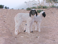 041213043514_two_sheep_in_desert