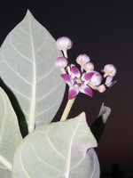 041213044356_flower_at_night
