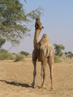 041207233922_lunch_of_a_camel