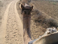 041208014306_lead_of_the_camel_head