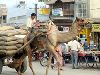 041207021934_camel_transport_in_bikaner