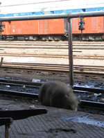 041220141402_dirty_pig_at_chitto_train_station