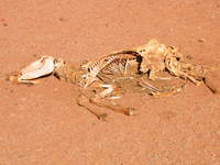 027_dead_animal_in_the_desert