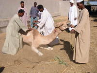 4823_camel_being_abused