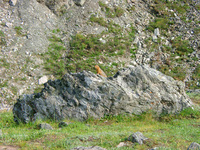 07200032_arctic_squirrel