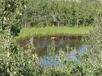 07200040_bathing_moose