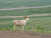 07210020_dall_sheep