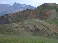 07210058_army_of_dall_sheep