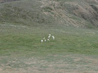 07210061_dall_sheep_rest