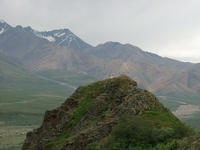 07210013_denali_dall_sheep
