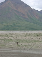 07210039_another_caribou