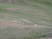 07210062_eight_dall_sheep