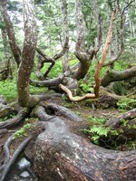 06140069_crooked_trees