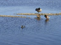 04270050_ducks_and_goose