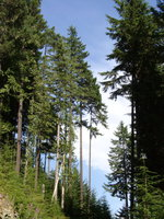 08240021_forest_of_tall_trees