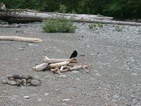 06250042_crows_at_west_coast_trail