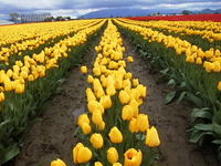 005_yellow_tulips